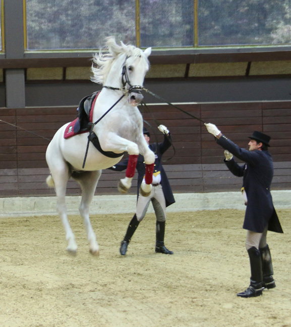 Lippizaner horse performance : Lipica, Slovenia