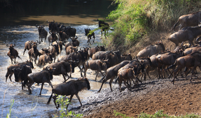 Wildbeest stampede at Grumeti river