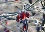 CCL3: Frosty Rose Hips