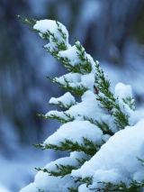 CCP16 Snow Dusted Fur