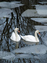 Swans at Sandpool Nature Reserve, Wiltshire
