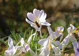 Bee on Crocus