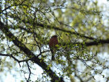 Chaffinch, Sherwood Forest