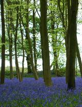 Badbury Clump Forest