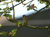 Goldfinch Hiding in the Apple Blossom