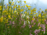 Wild Flowers, Blakehill Farm, Wiltshire