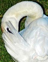 Swan, Devizes