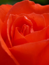 Rose, Corsham, Wiltshire