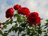 Roses, Corsham, Wiltshire