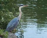 Heron, Devizes, Wiltshire