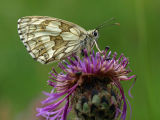 Marbled White, Coombe Bissett Nature Reserve, Wiltshire