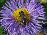 Hoverfly, Wiltshire