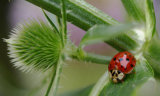 Ladybird and Teasel