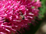 Soldier Fly - Pretty on Pink