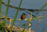 Kingfisher at Langford Lakes Nature Reserve, Wiltshire