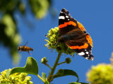 Red Admiral with Bee Flyby!