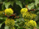 Red Admirals on Ivy