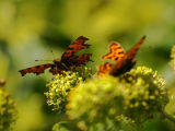 Comma Butterflies on Ivy