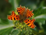 Furry Comma Butterfly