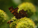 Comma Butterfly on Ivy
