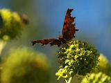 Comma Butterfly Basking on Ivy