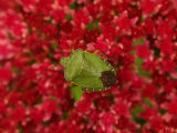 Shield Bug on Sedum