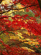 Acers Galore!