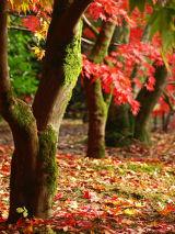 Acers at Westonbirt Arboretum