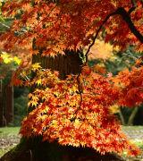 Leaves Aglow