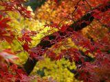 Acer, Westonbirt Arboretum