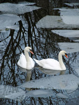 CCP13: Swans in Iced Pool