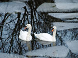 CCL4: Swans in Iced Pool
