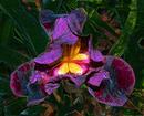 Velvet Iris