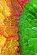 Ligularia leaves