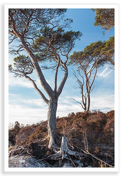 Assynt Pines
