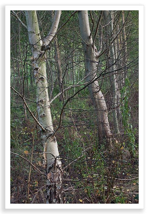 Dark Birch
