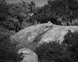 Dik Dik on Rock - Kruger National Park