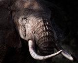 Large Bull Elephant - Elephas Maximus