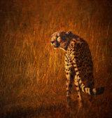 Cheetah - Acinonyx Jubatus.  Canon 5D11 500ml L Manual f4 1/200