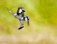 Pied Kingfisher - Ceryle Rudis over the Sabe River, Kruger