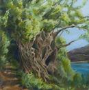 Lefkas olive tree