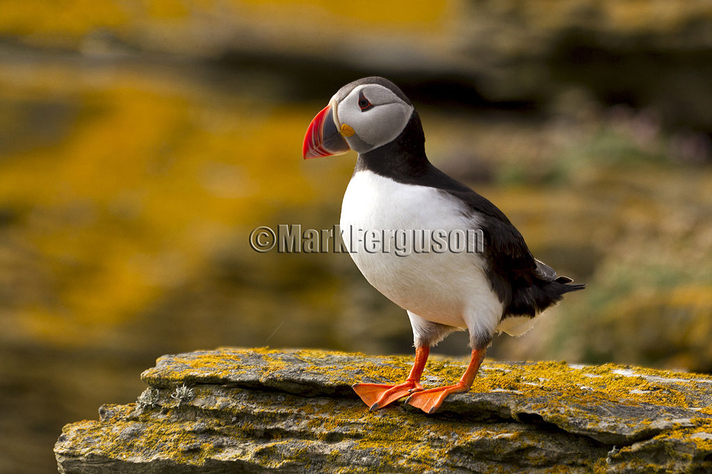 Noup Head puffin
