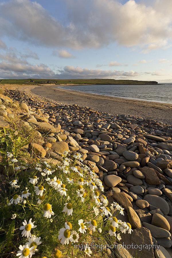 Sea Mayweed at Skaill
