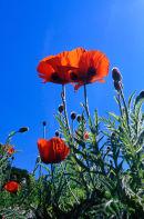 Sunny Poppys