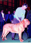 Ch. MArksbury Travesty going BOB at Crufts