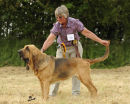 Wistful Best In Show at the Golden Jubilee Bloodhound Club Championship Show 2010 under Dr Jim Edwards (USA)