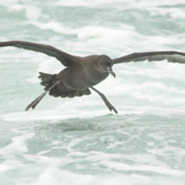 Sooty Shearwater [Puffinus griseus], Northumberland