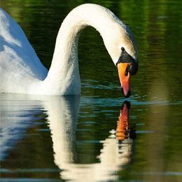 Mute Swan [Cygnus olor]