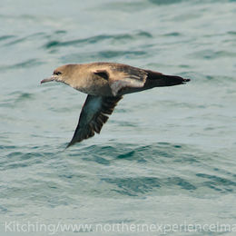 Sooty Shearwater [Puffinus griseus]
