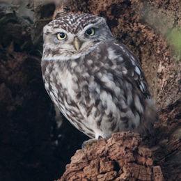 Little Owl [Athene noctua]